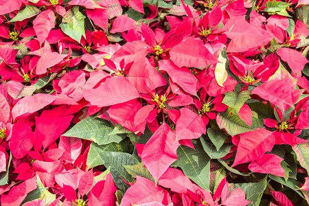 christmas flower: red christmas flower , Red Poinsettias with green leaves