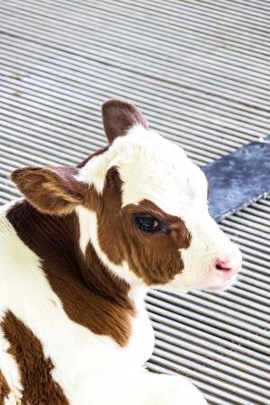 フラム、かなりのふくらはぎ、茶色と白の子牛