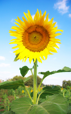 Sunflower on a background of blue sky photo