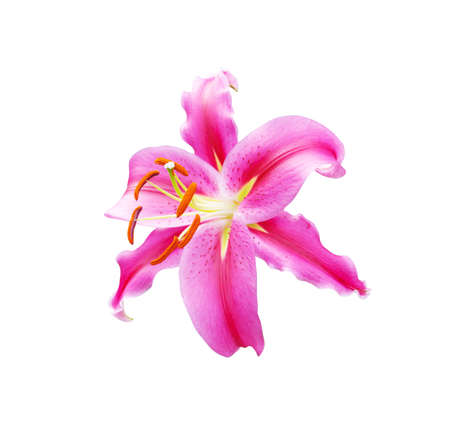 beautiful pink lily on white background with clipping path. photo