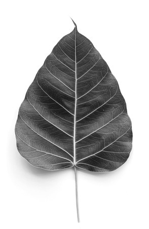 Texture Bodhi or Sacred fig leaf on white background, gray color  photo