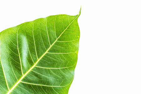 Texture Bodhi or Sacred fig leaf on white background  photo
