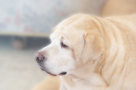 8 years old: Fat Labrador Retriever, 8 years old, Soft focus