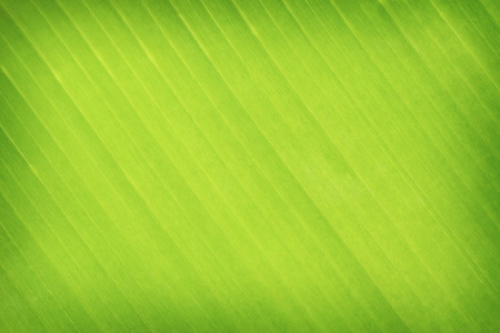 green background texture: green leaves banana background or texture