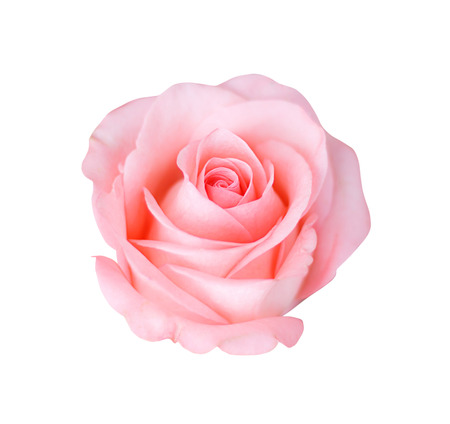 Pink rose isolated on white background, soft focus.