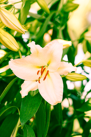 White lilly flower in the garden. vintage stye color