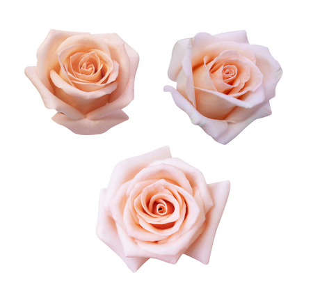 Collection of  pink rose isolated on white background, soft focus and clipping path.