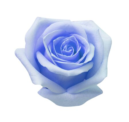 Blue rose isolated on white background, soft focus and clipping path.