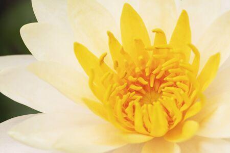 Yellow lotus flower bloom and closeup pollen Reklamní fotografie - 127110979