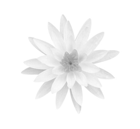 White gray lotus flower isolated on white background, soft focus and clipping path. Reklamní fotografie - 127110986