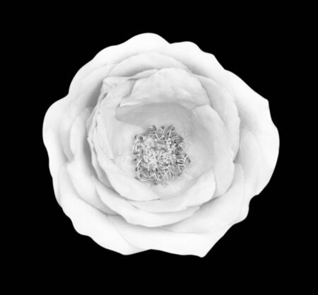 White gray rose isolated on black background, clipping path and - soft focus. Reklamní fotografie - 127111008