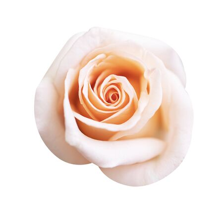 Pink rose flower isolated on white background, soft focus