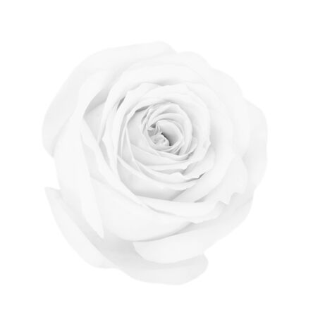 White gray rose isolated on white background, soft focus 写真素材