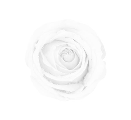 White gray rose isolated on white background, soft focus Stock Photo