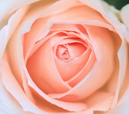 close up pink rose flower soft focus