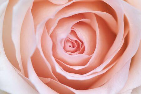 Pink rose flower close up Imagens
