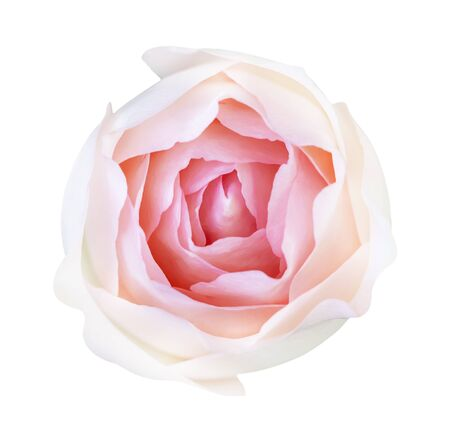 Red rose isolated on white background, 写真素材