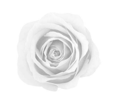 White gray rose isolated on white background, soft focus and clipping path