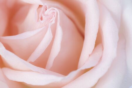 Pink rose flower close up for background and soft focus