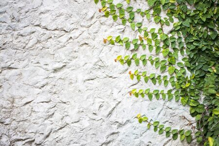 Ivy on gray concrete wall and copy space. 写真素材