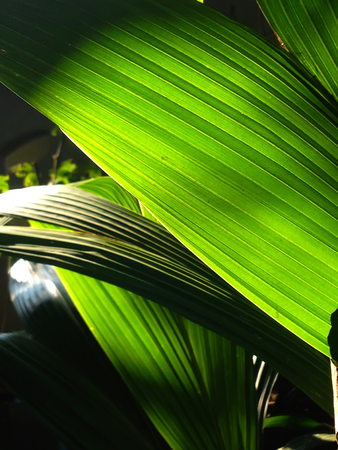 Sun shining through a radiating lines and textures of green palm leaf in forest