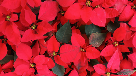 Top view of Red Christmas Poinsettia plant in winter of Thailand