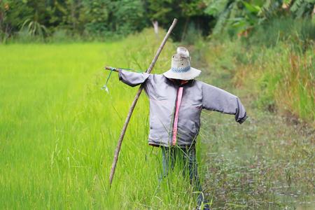 Espantapájaros independiente en el campo de arroz con cáscara