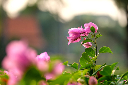 folwer: Pink bougainvillea flowers in the garden Stock Photo