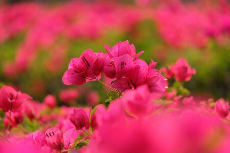 folwer: Pink bougainvillea flowers