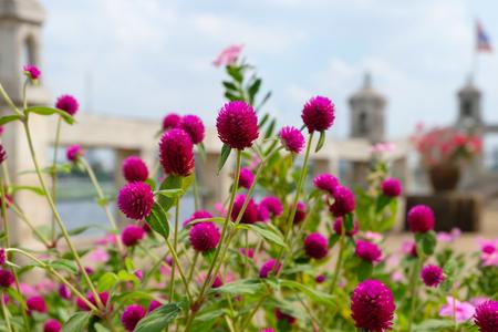 globosa: Amaranth flower or Gomphrena globosa flower in the garden Stock Photo