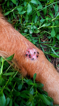 Many flies Stingers are wound on the leg of a dog, brown, closeup. Stock Photo