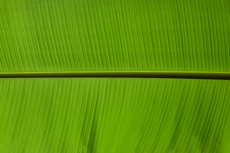 The leaves of the banana tree green beautiful close up, background texture