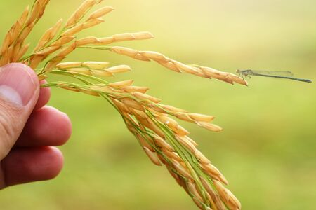 paddy rice seed in hand on a green background with a dragonfly. Stock Photo