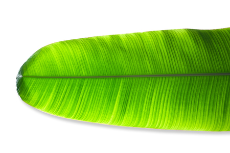 Banana leaves isolated on white background with clipping path