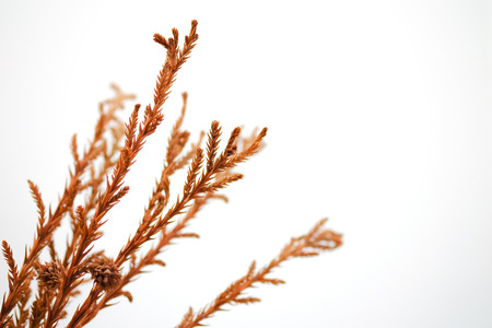 branch and brown leaves on a white background. Stock Photo
