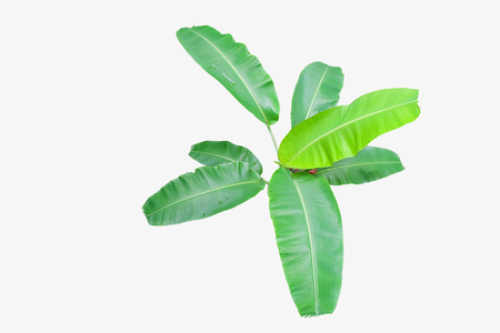 Banana leaf tree top view Isolated on white background, with clipping path
