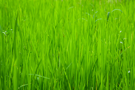 Rice fields Or grass green Close up ,Natural green Background texture