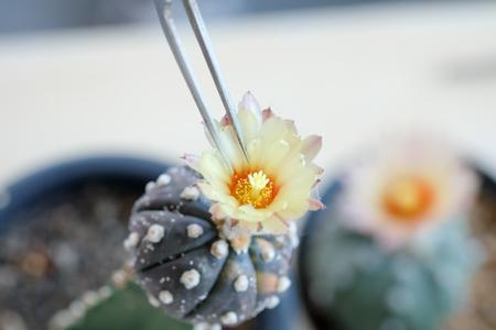 サボテンを受粉用の小さな絞りペンチ。