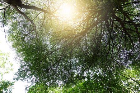 Terminalia ivorensis 나무의 녹색 잎은 큰 가지를 자랍니다
