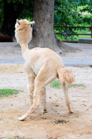 The back of the white Alpaca animal was feces on the lawn.