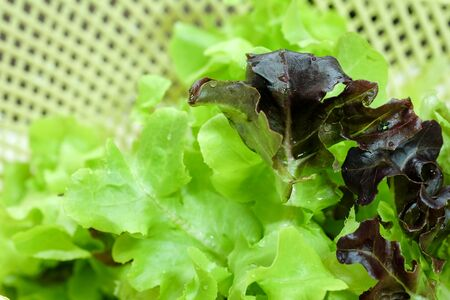 Green oak and Red oak Organic hydroponic vegetables salad in basket 스톡 콘텐츠