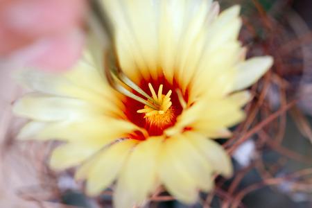 選択的な焦点を持つサボテンを受粉するための小さな圧迫プライヤー 写真素材