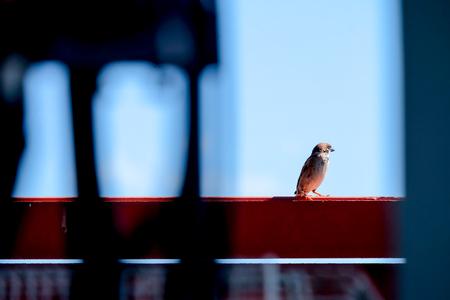 Sparrow on a house fence on a sky background.