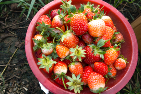 Fresh red strawberries from the farm. Put in a basket Standard-Bild - 113245809