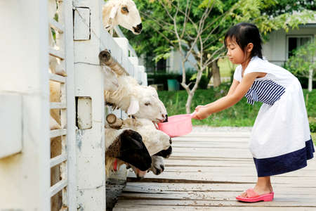 Asian child girl feeding sheep in a stable Archivio Fotografico