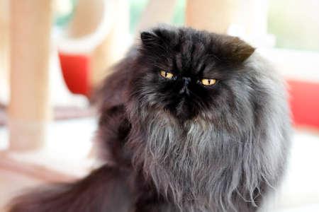 Black gray persian cat sitting in the room Stock fotó