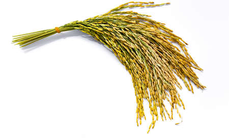 Jasmine rice from field on white background