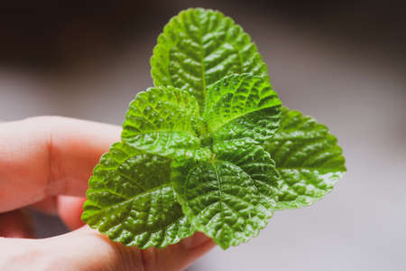 Green mint leaves on a man's hand