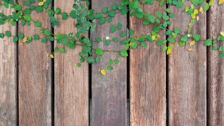 Old wooden fence wall panels background texture with green Coatbuttons or climber ficus ivy