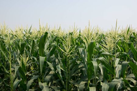 zea mays: Zea mays convar. saccharata var. rugosa.Sweet Corn Production.The farming for produced corn can, animal foods.